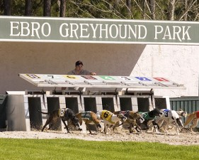 Greyhounds exhibit the thrill of the chase in Ebro, Florida at the Ebro Greyhound Park.